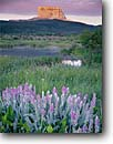 Stock photo. Caption: Showy locoweed and Chief Mountain   in Glacier National Park Chief Mountain International Highway Blackfoot Indian Reservation,  Montana -- united states america high mountain high country highcountry summer mountains landscape landscapes meadow meadows mountains landmark scenic Parks reservations  oxytropis splendens