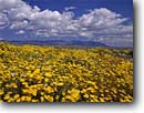 Stock photo. Caption: Desert dandelion and Job Peak   in the Stillwater Mountains Highway 50 near Frenchman Great Basin Desert, Nevada -- clouds summer national scenic area areas reserve reserves united states america landscape landscapes wildflower wildflowers deserts malacothrix glabrata range fields yellow fresh excellence freedom blue skies sunny spectacular flowers flower carpet great