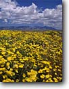 Stock photo. Caption: Desert dandelion and Job Peak   in the Stillwater Mountains Highway 50 near Frenchman Great Basin, Nevada -- clouds summer national scenic area areas reserve reserves united states america landscape landscapes wildflower wildflowers deserts malacothrix glabrata range fields yellow fresh excellence freedom blue skies sunny spectacular flowers flower carpet great