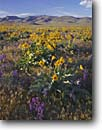 Stock photo. Caption: Arrowleaf balsamroot & common larkspur  on bajada   below Bilk Creek Mountains Great Basin,  Nevada -- united states america calm landscape landscapes summer range balsamorhiza sagitatta delphinium nuttalianum cheat grass bromus tectorum ranges wildflower wildflowers desert deserts dryland drylands arid abundant balsamroots larkspurs sunflowers