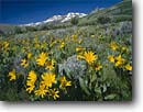 Stock photo. Caption: Arrowleaf balsamroot  and Hole in the Mountain Peak   from road to Angel Lake Humboldt National Forest Great Basin, Nevada -- landscape landscapes scenic scenics scene sunny clear blue skies summer sunflower flowers flower native wildflower wildflowers Balsamorhiza sagittata sunflowers snowcapped peaks snow capped forests basins range sagebrush country