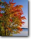 Stock photo. Caption: Red maples and Squam Lake East Holderness Grafton County New Hampshire,  New England -- tree trees fall scarlet maples maple autumn color forests united states northeast northeastern america landscape landscapes golden pond lakes sunny clear blue skies foliage lakes calm brilliant single scenic scenics bright