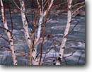 Stock photo. Caption: Birches along the Peabody River White Mountains White Mountain National Forest New Hampshire -- united states america tree trees rivers creek creeks stream streams england birch deciduous artistic nature rapid rapids rushing winter
