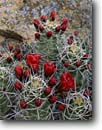 Stock photo. Caption: Claret cup near Wijiji Ruin Chaco Canyon Chaco Culture National Historical Park Colorado Plateau,  New Mexico -- united states america wildflower wildflowers cactus cactuses prickly sharp thorns spine spines Echinocereus triglochidiatus scarlet flower flowers claretcup native plants plant flora parks closeup closups