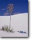 Stock photo. Caption: Soaptree yucca   and Rio Grande cottonwoods White Sands National Monument Chihuahuan Desert,  New Mexico -- yuccas dune dunes sand desert park parks deserts gypsum lily monuments elata landscape landscapes arid adversity solitude isolation soft artistic nature solitude solitary alone isolation isolated balanced harmony graceful simple sunny clear soft blue
