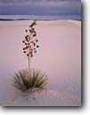 Stock photo. Caption: Soaptree yucca   and San Andres Mountains White Sands National Monument Chihuahuan Desert,  New Mexico -- yuccas dune dunes sand desert park parks deserts gypsum lily monuments landscape landscapes solitude isolation soft artistic nature solitude solitary isolation isolated balanced harmony graceful ripple ripples peace rippled elegance scenics balance calm