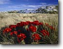 Stock photo. Caption: Claret cup cactus White Sands National Monument Chihuahuan Desert New Mexico -- united landscape landscapes clear scenic scenics scene canyons country  deserts dune sand sandy monuments pure purity clean flowers flower sunny clear dunes grass grasslands