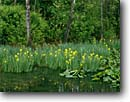 Stock photo. Caption: Yellow iris Beaver Marsh Cuyahoga Valley National Park Summit County,  Ohio -- creeks stream streams forest forests parks midwest midwestern united states landscapes landscape travel tourist destination destinations marshy marsh wetlands irises habitat bird spring city urban cities within limits wetland flower flowers blooming water