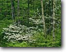 Stock photo. Caption: Flowering dogwood and aspen Riverview Road Cuyahoga Valley National Park Summit County,  Ohio -- tree trees hardwood forest forests parks midwest midwestern united states landscapes landscape travel tourist destination destinations dogwoods spring cornus aspens mixed city urban cities within limits near scenic scenics