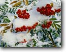 Stock photo. Caption: Mountain ash in fresh snowfall Crater Lake National Park Cascade Range Oregon -- ashes berry berries snow fresh powder detail details closeup closeups fall autumn christmas christmasy united states america colors color parks native plant plants flora crisp covered green