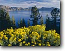 Stock photo. Caption: Rabbitbrush on the crater rim Crater Lake Crater Lake National Park Cascade Range, Oregon -- united states america landscape landscapes west areas parks scenic scenics scene overlook overlooks view views cascades western landmark landmarks attraction attractions destinations islands peaks peak clear sunny blue lakes summer flower flowers