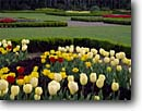 Stock photo. Caption: Tulips in the Formal Garden Shore Acres Garden Shore Acres State Park Oregon -- gardens parks formal spring coos county tulip flower flowers hedge tulips coast coastal bloom blooming  botanical botanic tourist attraction attractions destination destinations floral spring walkways path paths bulbs colorful landscaped landscaping