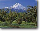 Stock photo. Caption: Apple orchard Mt. Hood from near Parkdale Hood County Cascade Range, Oregon -- mount peak peaks apples orchards autumn snow capped mountain mountains volcano volcanoes dormant glacier glaciers farm farms farming agriculture sunny clear blue skies icon iconic classic trees tree food earthy soil growing fruit landscapes landscape fall
