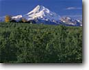 Stock photo. Caption: Apple orchard and Mt. Hood   from near Parkdale Hood County Cascade Range, Oregon -- mount peak peaks apples orchards fall snow capped mountain mountains volcano volcanoes dormant glacier glaciers farm farms farming agriculture sunny clear blue skies icon iconic classic trees tree food earthy soil growing fruit landscapes autumn