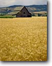 Stock photo. Caption: Wheatfields   and barn near La Grand Grande Ronde Valley Union County,  Oregon -- rural landscape landscapes ranch ranching ranchland agriculture wheat grain grains barn barns harvest time abundance abundant farming farm crop crops field fields pacific northwest northwestern pride honey colored beautiful heritage amber waves scenics