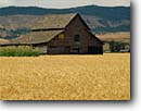 Stock photo. Caption: Wheatfields and barn   near La Grande Grand Ronde Valley Union County, Oregon -- rural landscape landscapes ranch ranching ranchland agriculture wheat grain grains barn barns harvest time abundance abundant farming farm crop crops field fields pacific northwest northwestern pride honey colored beautiful heritage amber waves scenics