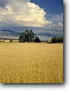 Stock photo. Caption: Wheatfields near Summerville Grande Ronde Valley Oregon -- family rural landscape landscapes ranch ranching ranchland agriculture wheat grain grains barn barns harvest time abundance abundant farming farm crop crops field fields pacific northwest northwestern buildings building amber waves dramatic clouds summer
