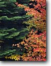 Stock photo. Caption: Mountain dogwood and grand fir Rogue River National Forest Cascade Range Oregon -- fall autumn forests mountains pacific northwest northwestern united states america temperate forest rainforests nature artistic pattern patterns contrast contrasting colors foliage portrait detail details scenic scenic dogwoods
