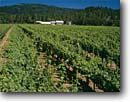 Stock photo. Caption: Foris Vineyard and Winery Illinois Valley Cave Junction Josephine County, Oregon -- wine country summer rural ranch crops grape grapes trees hills agriculture vine countryside beauty farming farm rural pastoral bountiful garden gardens flower flowers pacific northwest organic blue clear sunny skies vineyards vines family growing regions