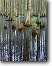 Stock photo. Caption: Bald cypress Wambaw Swamp Francis Marion National Forest South Carolina -- deep south southern states creeks river rivers swampy pristine ecosystem cypress trunks trunk spring summer cypresses water buttresses wetland wetlands buttress bogs reflection reflections knees tree trees habitat riparian elegant elegance straight