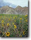 Stock photo. Caption: Kansas sunflowers Badlands National Park South Dakota -- landscape landscapes scenic scenics scene rural parks sunflower flowers flower native prairies prairie grasses badlands eroded erosion