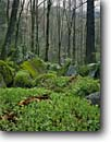 Stock photo. Caption: Wild stonecrop Ramsay Cascades Trail Great Smoky Mountains National Park Tennessee -- world heritage site sites parks appalachian spring tree trees creek creeks hardwood forest forests south southern Sedum tematum youth native plant plants