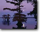 Stock photo. Caption: Bald cypress at sunset Reelfoot Lake Tennessee -- united states america landscape landscapes scenic scenics scene tree trees earthquake fault zone moon moonrise moonrises sunsets Taxodium distichum baldcypress deciduous wetland wetlands swamp swamps conifer conifers clear lakes calm quiet tranquil