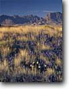 Stock photo. Caption: Big Bend bluebonnet Chisos Mountains Big Bend National Park Chihuahuan Desert, Texas -- flower flowers wildflower wildflowers spring lupine lupines mountains bluebonnets deserts lupinus harvardii landscape landscapes arid sunny clear blue skies bonnets bonnet texan travel landscapes landscape cactus rural scenic scenics