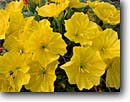 Stock photo. Caption: Grand prairie evening-primrose Chisos Mountains Big Bend National Park Chihuahuan Desert, Texas -- primroses flower flowers wildflower wildflowers detail details closeup closeups deserts parks spring yellow blossom blossoms oenothera greggii   southwest southwestern stamens primroses evening primrose soft bright bloom blooming backgrounds background