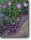 Stock photo. Caption: Havard nama and tansyleaf spine aster Chisos Mountains Big Bend National Park Chihuahuan Desert, Texas -- primroses flower flowers wildflower wildflowers detail details closeup closeups deserts parks spring blossom blossoms southwest southwestern havardii Machaeranthera bigelovii purple sweet bloom blooming sand wash asters survivor tenacity