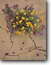 Stock photo. Caption: Havard nama and parralena Chisos Mountains Big Bend National Park Chihuahuan Desert,  Texas -- southwest southwestern deserts Nama havardii Dyssodia pentachaeta wildflower detail cracks wildflowers flowers america details closeup closeups artistic nature sweet soft arid native plant plants flora tenacity bouquet bouquets crack parched