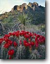 Stock photo. Caption: Claret cup cactus Chisos Mountains Big Bend National Park Chihuahuan Desert, Texas -- united states america landscape landscapes canyons country parks flowers flower wildflower wildflowers deserts spring flowering buds  arid cups scarlet abundant lots harsh yuccas
