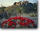 Stock photo. Caption: Claret cup cactus Chisos Mountains Big Bend National Park Chihuahuan Desert, Texas -- united states america landscape landscapes canyons country parks flowers flower wildflower wildflowers deserts spring flowering buds arid harsh environment blooming bloom mound mounds