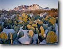 Stock photo. Caption: Prickly pear cactus and Pummel Peak Chisos Mountains Big Bend National Park Chihuahuan Desert, Texas -- united states america landscape landscapes scenic scenics scene canyons country parks flowers flower wildflower wildflowers deserts spring pricklypears pears snow winter snowfall fresh unusual pads mountain