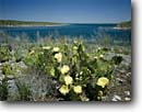 Stock photo. Caption: Prickly pear cactus   and Amistad Reservoir Amistad National Recreation Area Val Verde County, Texas -- united states america landscape landscapes scenic scenics scene canyons country flowers flower wildflower wildflowers deserts spring pricklypears pears snow reservoirs clear sunny blue skeis flowering arid harsh habitat