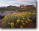 Stock photo. Caption: Rough mulesears and yellow cryptanth The Windows Section Arches National Park Colorado Plateau,  Utah -- Cryptantha flava sunflowers flowers flower wildflower wildflowers meadow spring plateaus scenic scenics landscapes Wyethia scabra blooming bloom landscape with mules ears sunny clear blue skies geologic formations formation scenic scenics sunflower