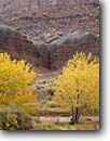 Stock photo. Caption: Fremont cottonwoods   along Sulphur Creek Capitol Reef National Park Colorado Plateau,  Utah -- deserts canyon country parks southwest united states colorful erosion landscape landscapes rock canyons fall autumn tree trees cottonwood wash sandy soaring cliffs cliff scenic scenics