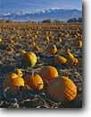 Stock photo. Caption: Pumpkins in frosty field   and Bear River Range Cache Valley Great Basin, Utah --   harvest harvested harvesting fall autumn farms farming pumpkin pumpkins united states america sunny bounty bountiful family mountains intermountain west landscape landscapes