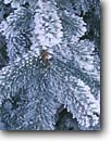 Stock photo. Caption: Hoar frost on blue spruce Cache Valley Great Basin Utah -- united states southwest southwestern frost winter icey frosty freezing frozen america detail details spruces trees conifer conifers needles artistic nature living things covered with frosted trees tree