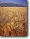 Stock photo. Caption: Ripe barley   below Wellsville Mountains Cache Valley Great Basin,  Utah -- tranquil calm landscape landscapes  scenic scenics scenic scenics crops crop grain grains grainfields fields agriculture waves amber purple mountains majesty soft food beer products western west