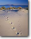 Stock photo. Caption: Rabbit & coyote tracks Great Salt Lake Antelope Island State Park Great Basin, Utah -- united states america clouds summer sagebrush country landscape landscapes grasses desert deserts track range  parks lakes footprints footprint sand sandy dunes chase predator prey Promontory Mountains animal habitat animals sunny clear blue skies white