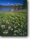 Stock photo. Caption: Marsh marigolds   along the shore of Mirror Lake Uinta Mountains Wasatch National Forest,  Utah -- tundra flowers subalpine wildflowers wildflower wildernesses forests ranges mountain united states america summer meadow meadows highcountry Caltha leptosepala lakes backcountry landscape landscapes blue skies clear sunny lakes scenic scene scenics