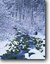 Stock photo. Caption: Spring Hollow in winter Logan Canyon Wasatch-Cache National Forest Utah --   united states forests creeks creek moss mossy snow snowy winter wintery trees tree snowfall stream bear river range national cold america landscape landscapes scenic scenics scene quiet place