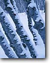 Stock photo. Caption: Big toothed maples in winter snow Logan Canyon,  Bear River Range Wasatch-Cache National Forest Utah -- united states america tranquil forests calm clarity purity snow artistic nature abstract pristine trunks trunk tree trees design designs pattern patterns graceful elegant form forms repeating artistic nature snowy bark abstract