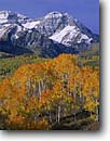 Stock photo. Caption: Aspens and Mt. Timpanogos Wasatch Range Uinta National Forest Utah -- united states america peak peaks forests mountains landscape landscapes mountain autumn fall color uintas mount alpenglow colour colours blue skies clear crisp sunny snow covered balanced aspen trees tree  scenic scenics scene
