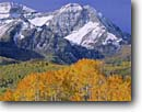 Stock photo. Caption: Aspens and Mt. Timpanogos Wasatch Range Uinta National Forest Rocky Mountains,  Utah -- united states america peak peaks forests mountains landscape landscapes mountain autumn fall color uintas mount alpenglow colour colours blue skies clear crisp sunny snow covered balanced aspen trees tree scenic scenics scenefresh snow snowfall