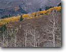Stock photo. Caption: Aspens and Mt. Nebo Mt. Nebo Wilderness Uinta National Forest Utah -- aspen fall peak peaks autumn rocky  peaks mountain tree trees deciduous rockies sweeping view grand wildernesses highcountry area areas landscape landscapes scenic scenics bare quiet