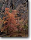 Stock photo. Caption: Bigtooth maples Gateway to the Narrows,  Zion Canyon Zion National Park Colorado Plateau,  Utah -- tree trees sandstone fall autumn country parks rock landscape landscapes tourist travel destination destinations deserts desert color colour colours walls wall maple navajo foliage towering calm leaves elegant imposing strength scenic scenics changing