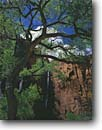 Stock photo. Caption: Fremont cottonwood Gateway to the Narrows Zion Canyon, Zion National Park Colorado Plateau,  Utah -- canyons parks spectacular dramatic  landscape landscapes travel vacation tourist destination destinations navajo sandstone redrock rock country sunny blue clear puffy clouds cloud spring sheer faces waterfall waterfalls ephemeral energy natural western