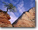 Stock photo. Caption: Ponderosa pine and White Cliffs Clear Creek Canyon Zion National Park Colorado Plateau,  Utah -- united states america tree bonsai trees pines slickrock navajo sandstone summer country parks red rock tourist travel vacation destination destinations solitude tenacity arid deserts desert conifer conifers evergreen evergreens pinus lone lonesome single